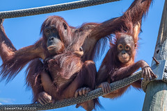 Orangutans at Zoo Tampa