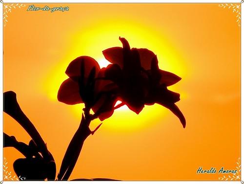 Flor-da-graca_Monte Dourado-Pará-PA