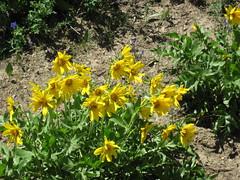Wyethia amplexicaulis (northern mule's ears) (Preuss Range, Idaho, USA) 1
