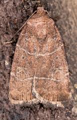 Grateful Midget Moth