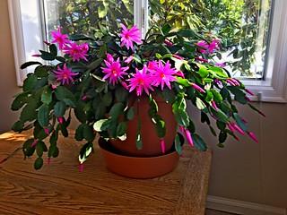 Christmas Cactus, Issaquah, WA 1/16/20