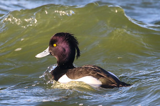 Tufted Duck (m)