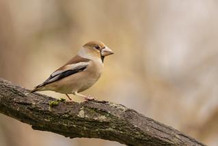 Grosbec casse-noyaux  - Hawfinch