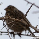 Aves en las lagunas de La Guardia (Toledo) 19-1-2020