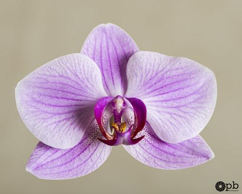 Fleur de Phaleanopsis