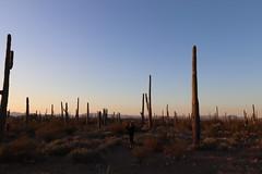 Organ Pipe Cactus: Pictures of Desert sunset