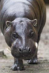 Hippo walking towards me