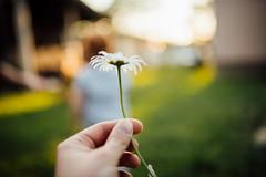 A hand holding a daisy closeup