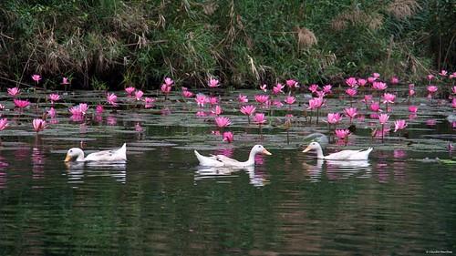 IMGP4526 Happy Ducks