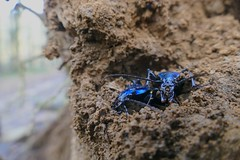 Ground Beetles (Carabus (Chrysotribax) hispanus) hibernating in a cell in the ground ...