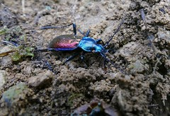 Ground Beetle (Carabus (Chrysotribax) hispanus) found hibernating in a cell in the ground ...