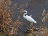 Photo:Great egret (Ardea alba,ダイサギ) By Greg Peterson in Japan