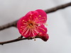 Photo:Pink plum blossoms (梅) By Greg Peterson in Japan