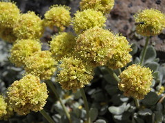 Mount Rose buckwheat, Eriogonum rosense var. rosense