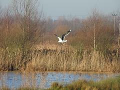 Great Black backed gull  DSCN4128