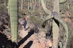 Through the Saguaros