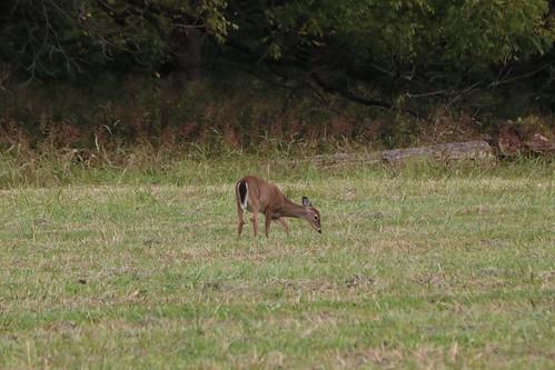 West Virginia Whitetail