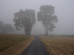 Hamilton Victoria. Gum trees through the summer fog.