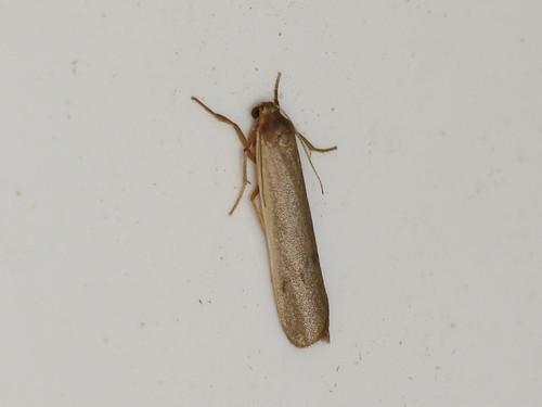 Thermeola sp.