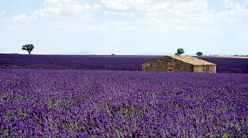 In the middle of a lavenders ocean