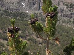 whitebark pine, Pinus albicaulis
