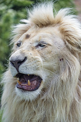 White lion looking a bit unfriendly