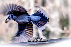 thief in motion - backlit blue jay action