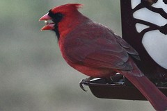 Cardinal dining on safflower seed