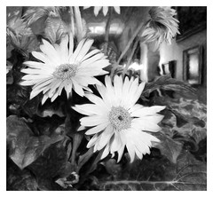 Daisies in Hallway