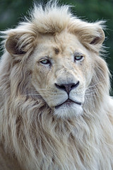 Portrait of the calm white lion