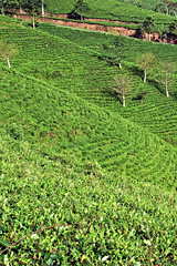 Tea plantation in Java, Indoesia