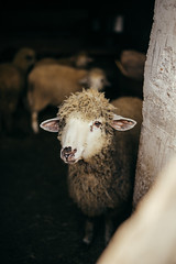 A sheep standing in the pen