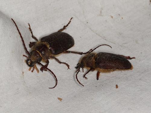 Sceleocantha sp.