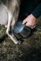 An organic farmer milking a goat by hand
