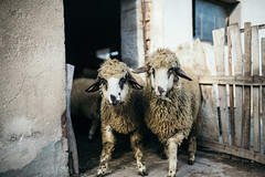 Two sheep standing in front of the stable