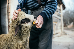 A sheep eating corn while being caressed by a farmer
