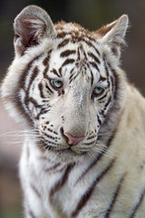 White tiger cub looking at the side