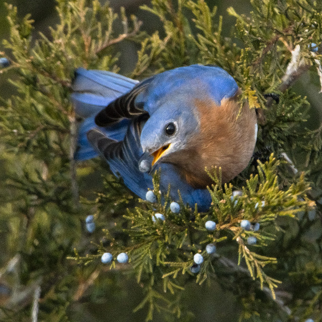 Eastern Bluebird eating Juniper Berries_1