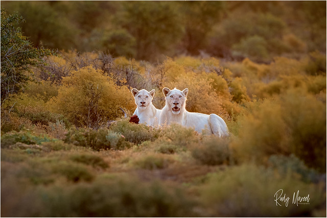 A Rare Encounter: Spotting White Lions in the Wild