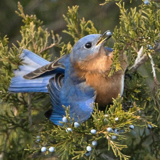 Bluebird eating Juniper Berries_2