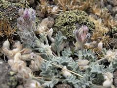 Austin milkvetch, Astragalus austiniae