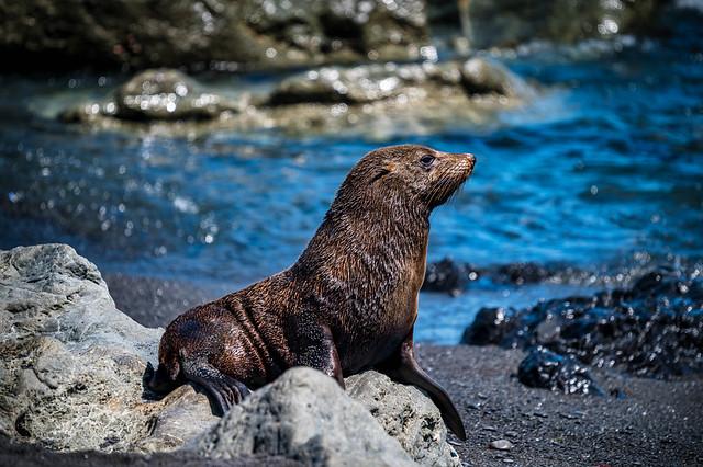 New Zealand Fur Seal Portrait