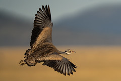 White-bellied-bustard-male