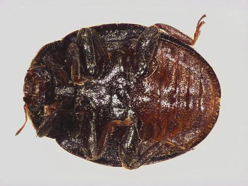 Rhyzobius ventralis