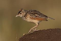 Singing Bushlark or Foxy Lark? Serengeti