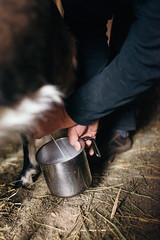 Bio-Bauer melkt eine Ziege von Hand