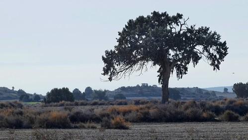 Monegros. Old Juniperus.