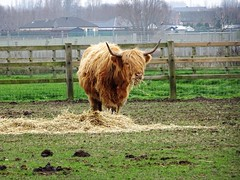 Rekkem  Elevage des Highland Cows