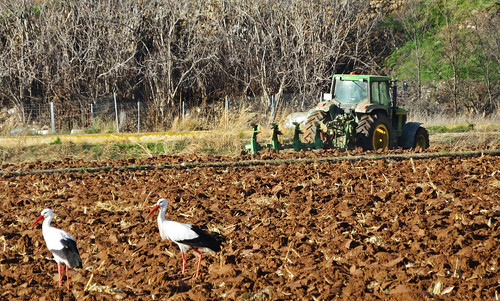 tractor working in a cornfield, and two storks looking for food