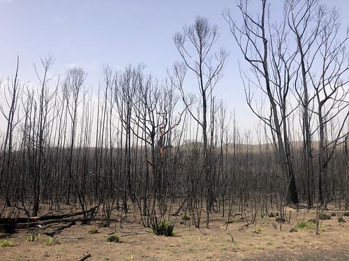 The starkness of the landscape adter bushfire - Sassafras NSW